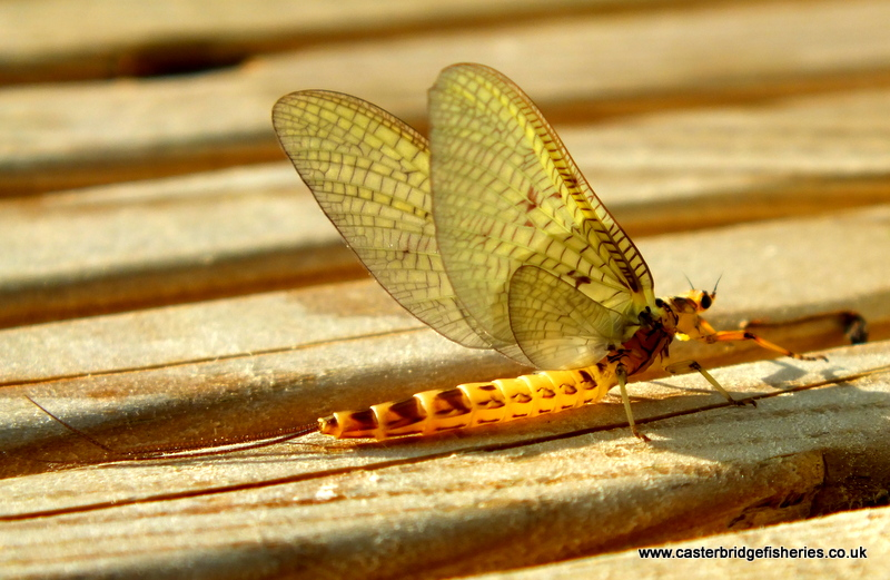 Stunning Mayfly