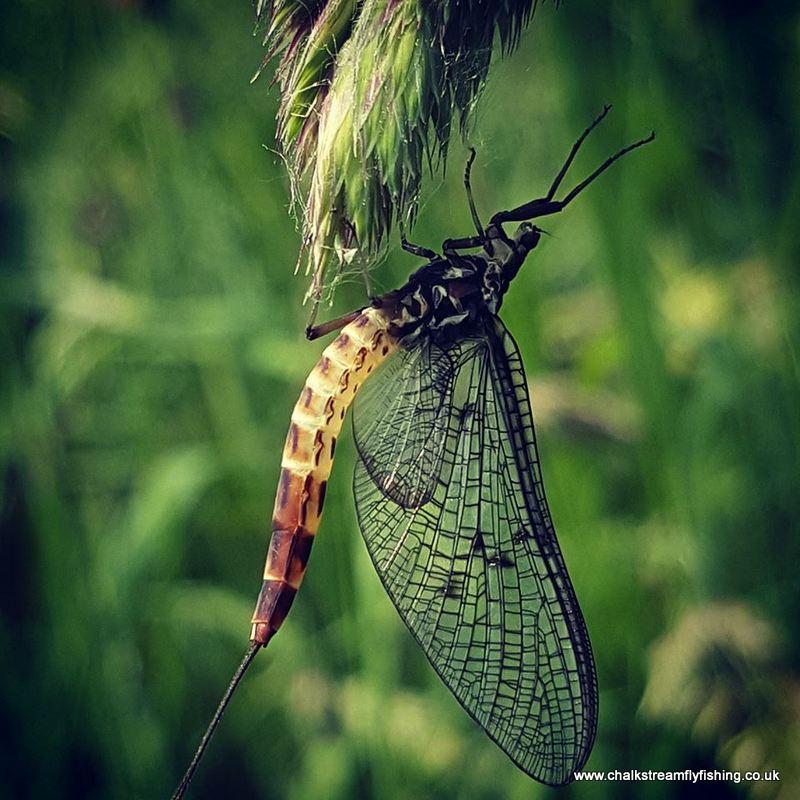 andreas mayfly